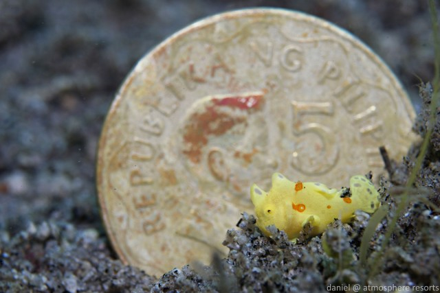 Juvenile frogfish next to a Filipine peso coin - how tiny is that!