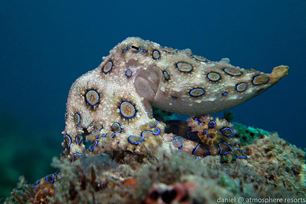 Blue Ringed Octopus by Daniel Geary