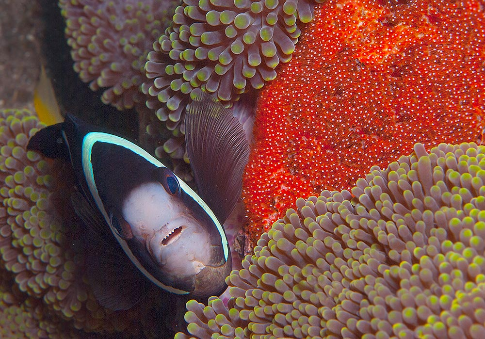 Clarke's Anemonefish by Ulrika Kroon