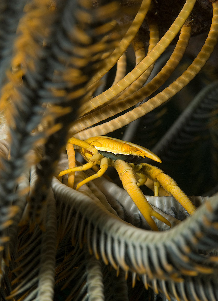 Crinoid Crab by Ulrika Kroon