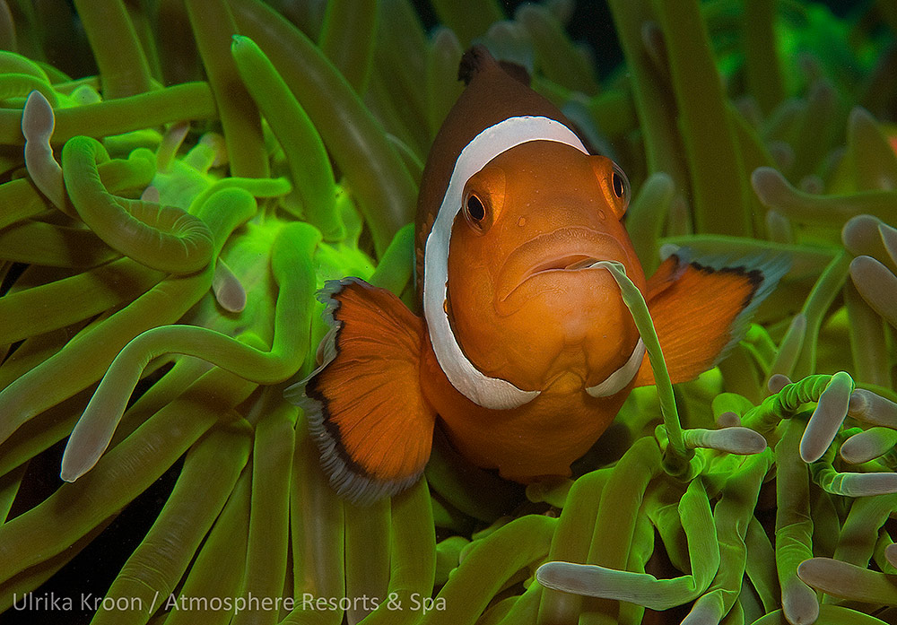 False Anemonefish by Ulrika Kroon