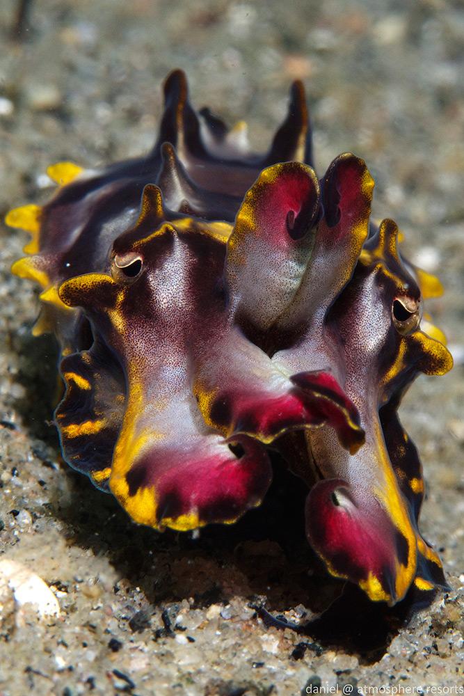 Flamboyant Cuttlefish by Daniel Geary