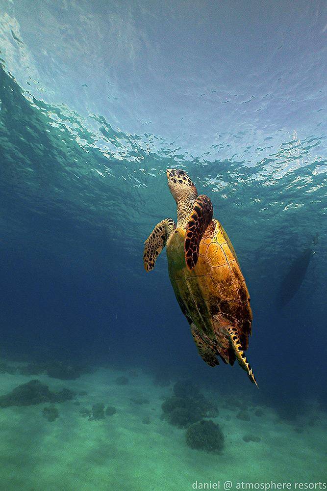 Hawksbill Turtle by Daniel Geary