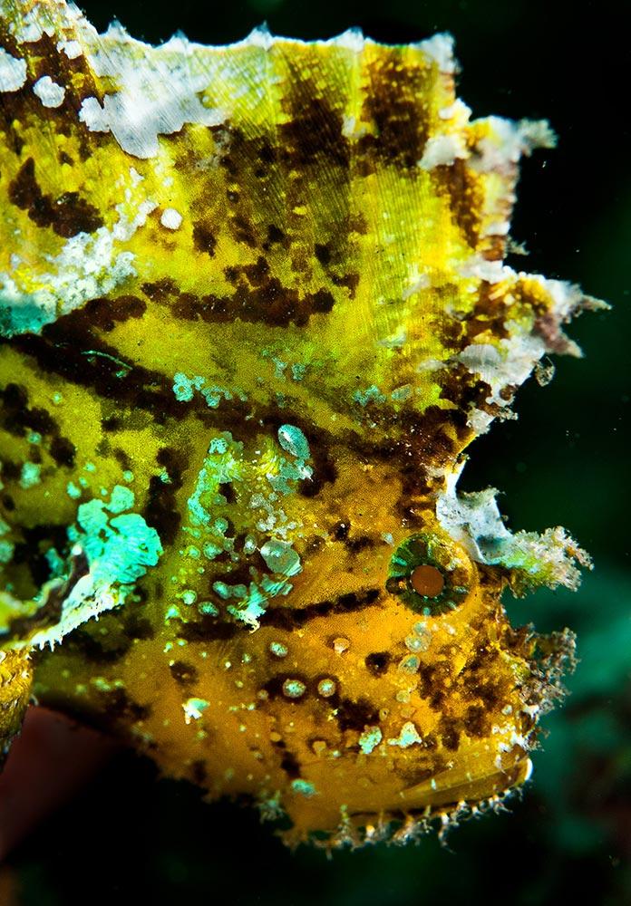 Leaf Scorpionfish by Bryan Patrick