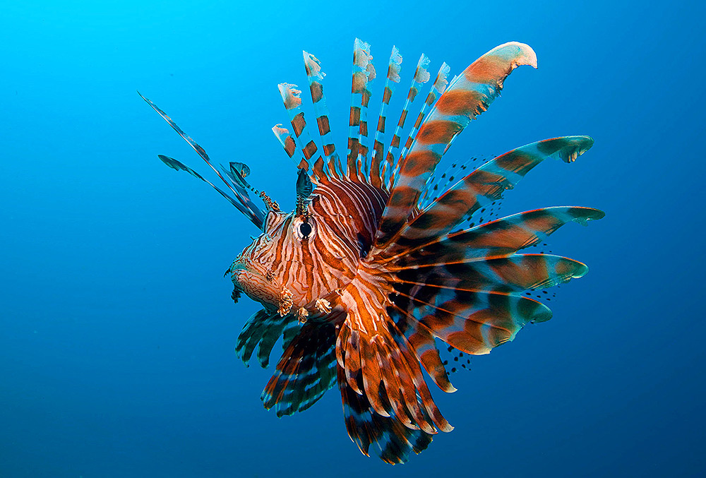 Lionfish by David Hettich