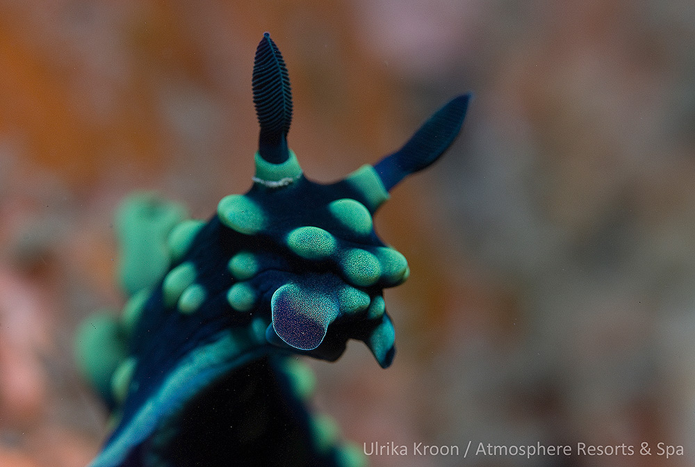 Nudibranch by Ulrika Kroon