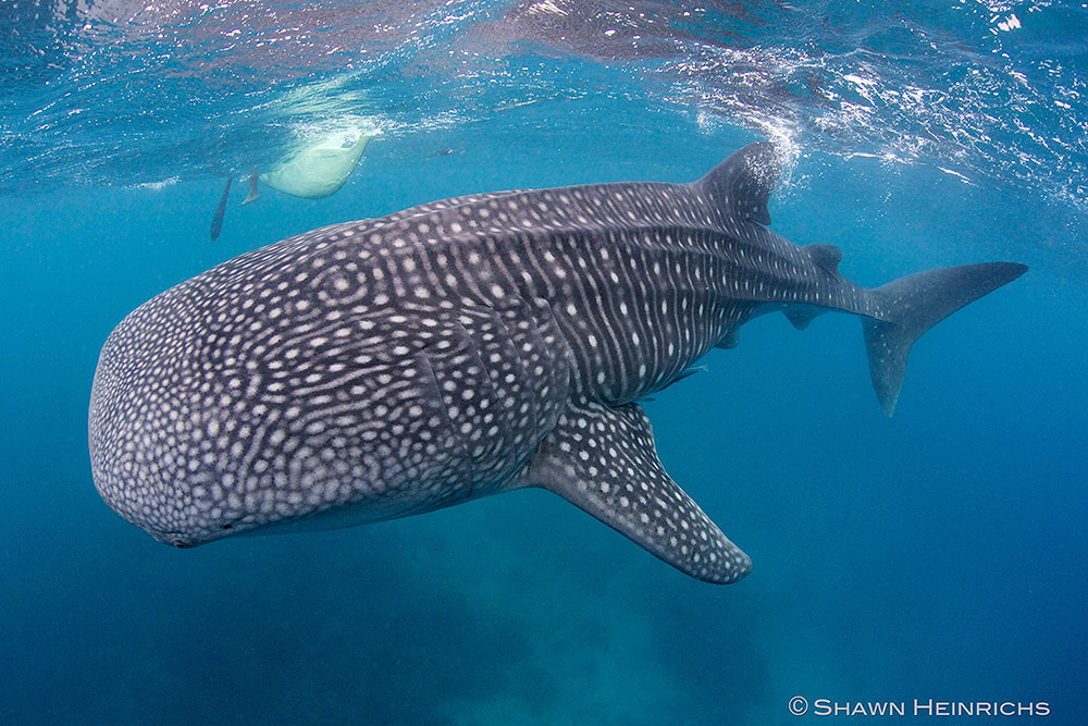 Whale Shark by Shawn Heinrichs