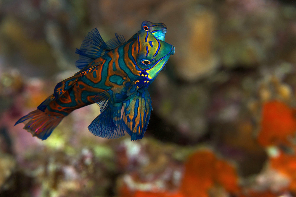 Mandarin Fish by Steve de Neef