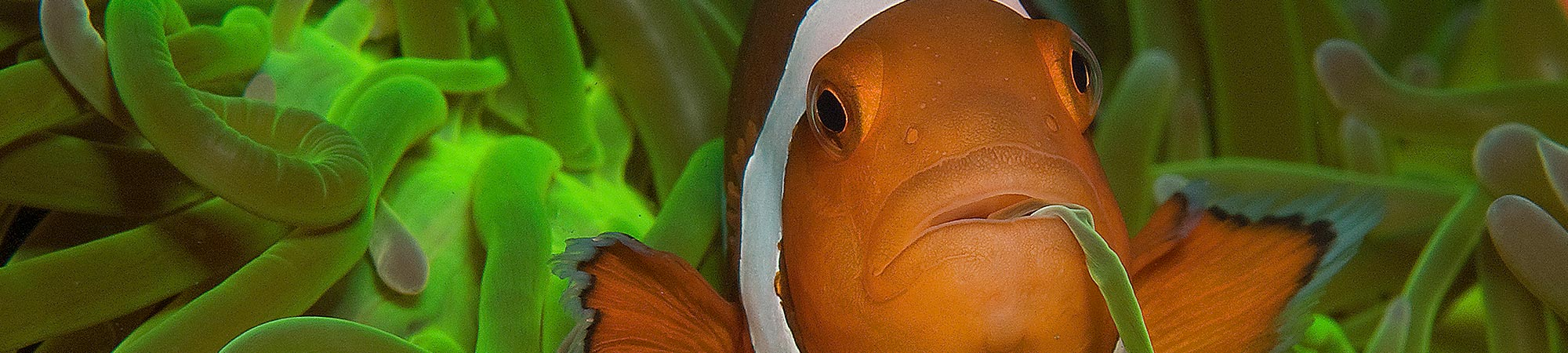 Photos of the marine life around Atmosphere Resorts & Spa: Apo Island and Dauin. This photo is of an anemonefish: False clownfish or Nemo.