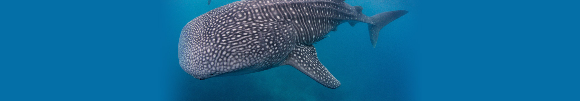 Swim with Whale Sharks in Oslob with Atmosphere Resort in the Philippines