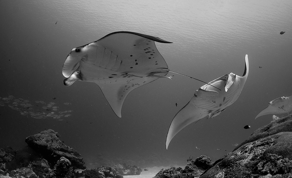 Mantas in Palau 2013 by Ulrika Kroon