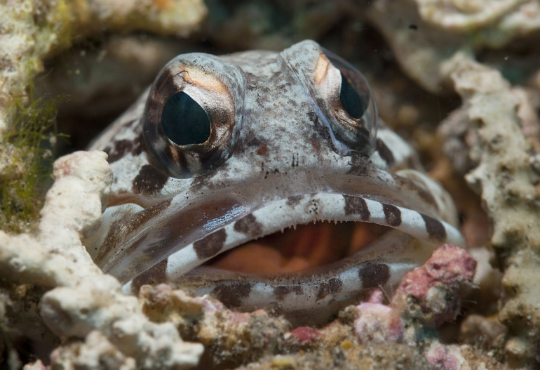 Jawfish on the Atmosphere Resorts house reef Jawfish on the Atmosphere Resorts house reef