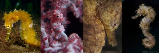A horse or a sea monster? 10 fun facts about seahorses...