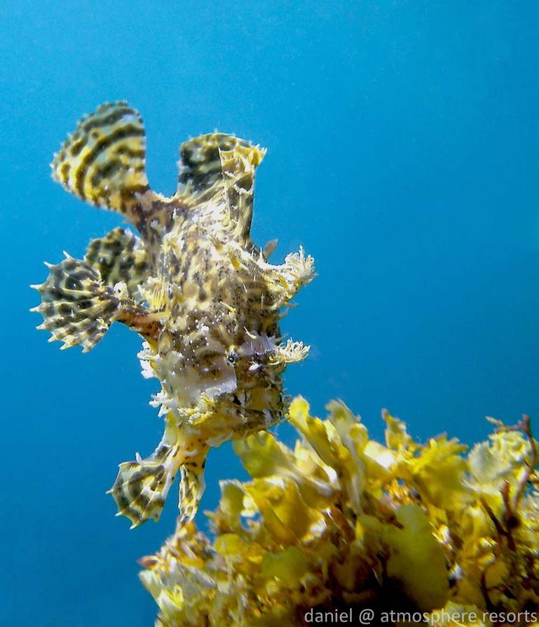Sargassum fish in seaweed outside Atmosphere Resort