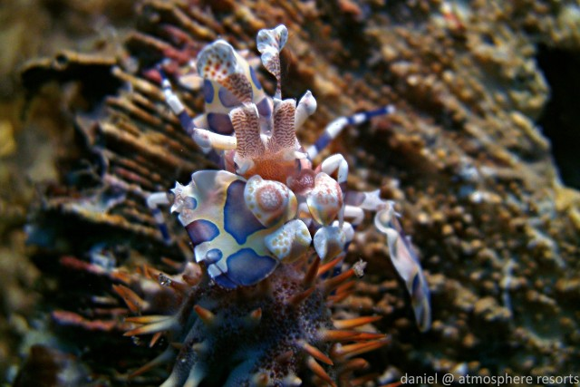Harlequin Shrimp on the Atmosphere Resorts house Reef in Dauin Philippines