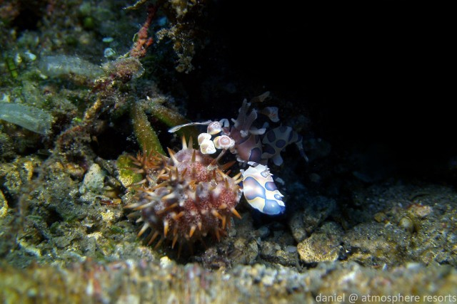 harlequin Shrimp with crown of thorn seastar on Atmosphere Resorts house reef in Dauin Philippines
