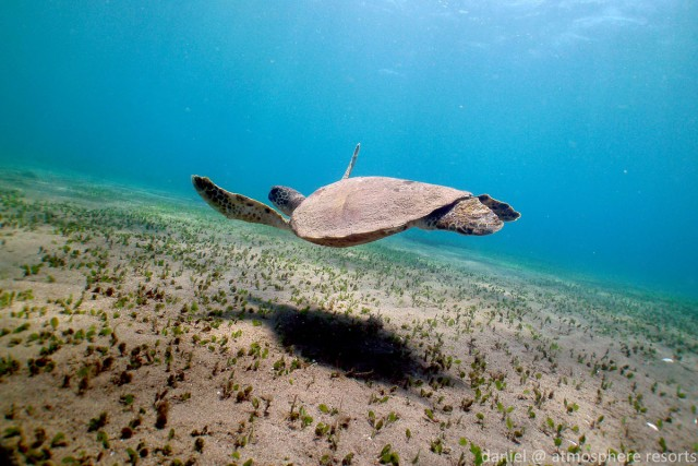 Green turtle grazing the seagrass in Dauin