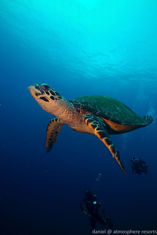 Hawksbill turtle going for air in Apo Island