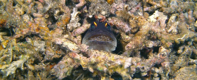 Male Jawfish with eggs - Photo by Daniel Geary