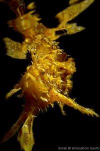 Sargassum fish released in the ocean outside Atmosphere Resort in Dauin Philippines