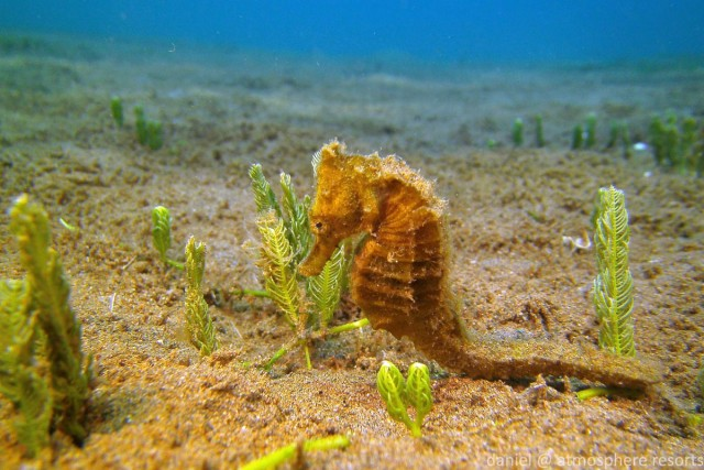 Thorny Seahorse on Atmosphere's house reef