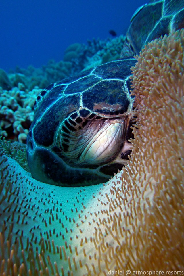 Sleepy turtle in Apo Island