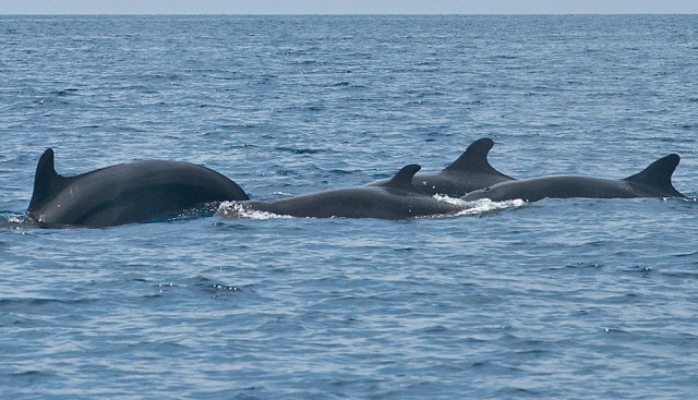 False killer whales in Dauin