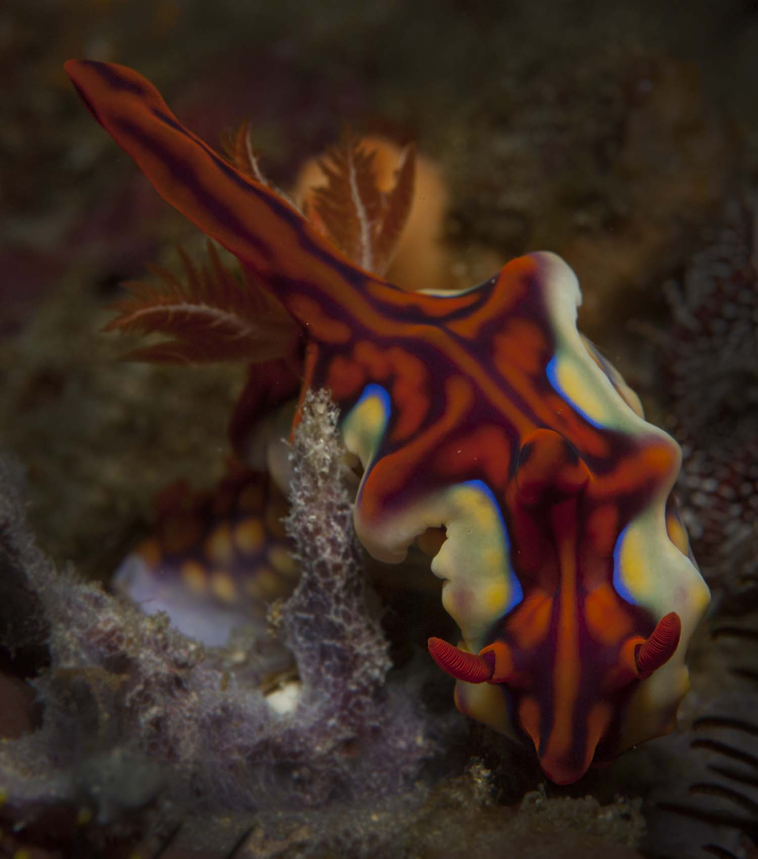 Nudibranch Komodo 2015 by Ulrika Kroon