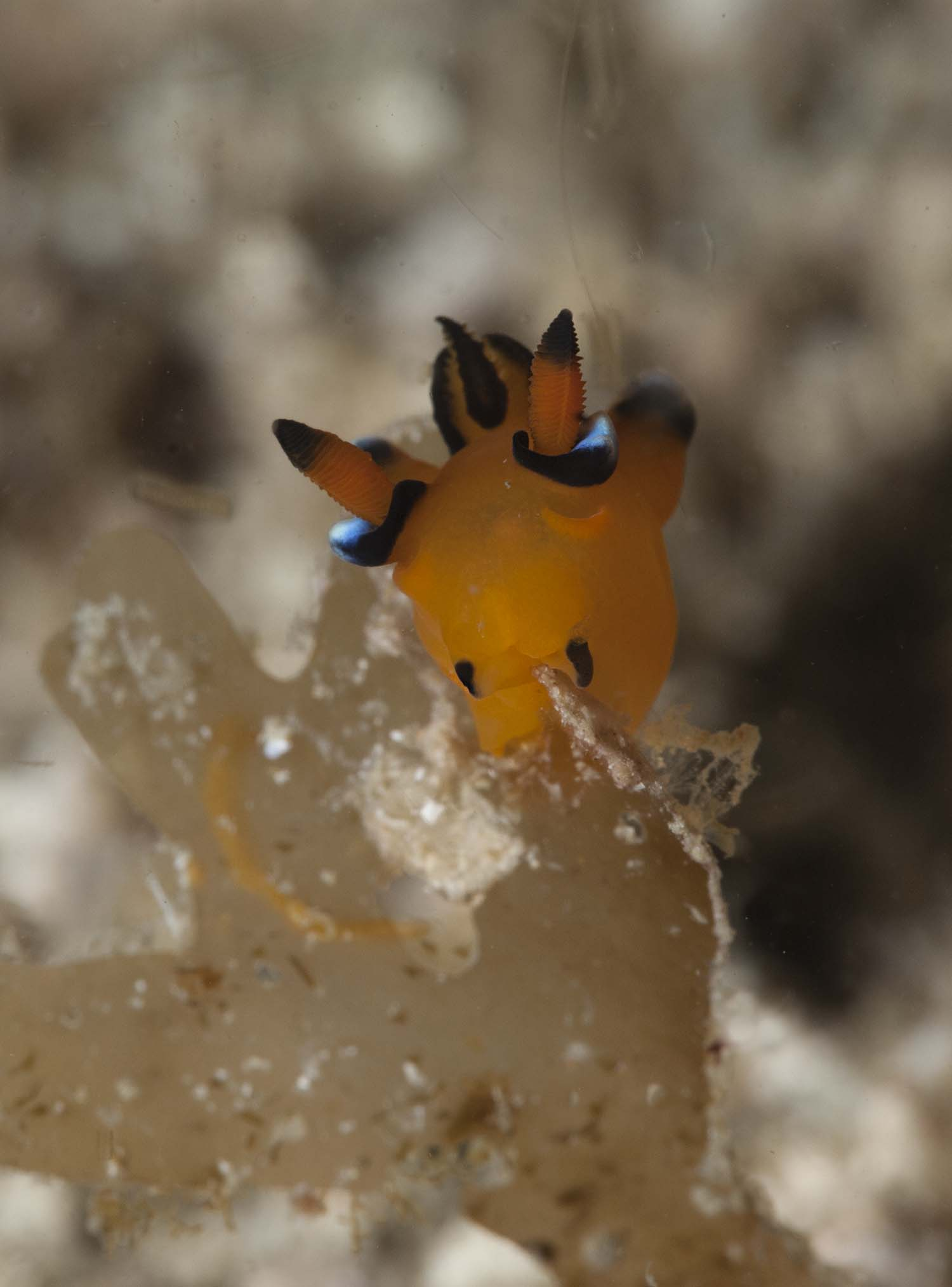 Nudibranch in Komodo 2015 by Ulrika Kroon