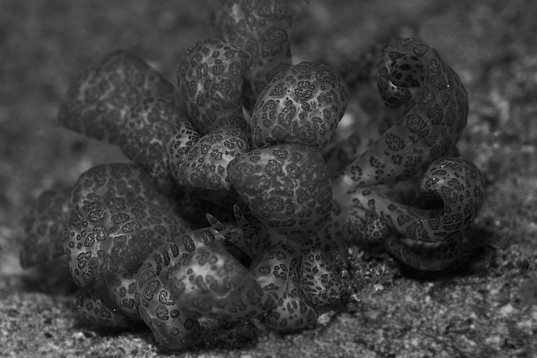Nudibranch Komodo 2015 by Ulrika Kroon