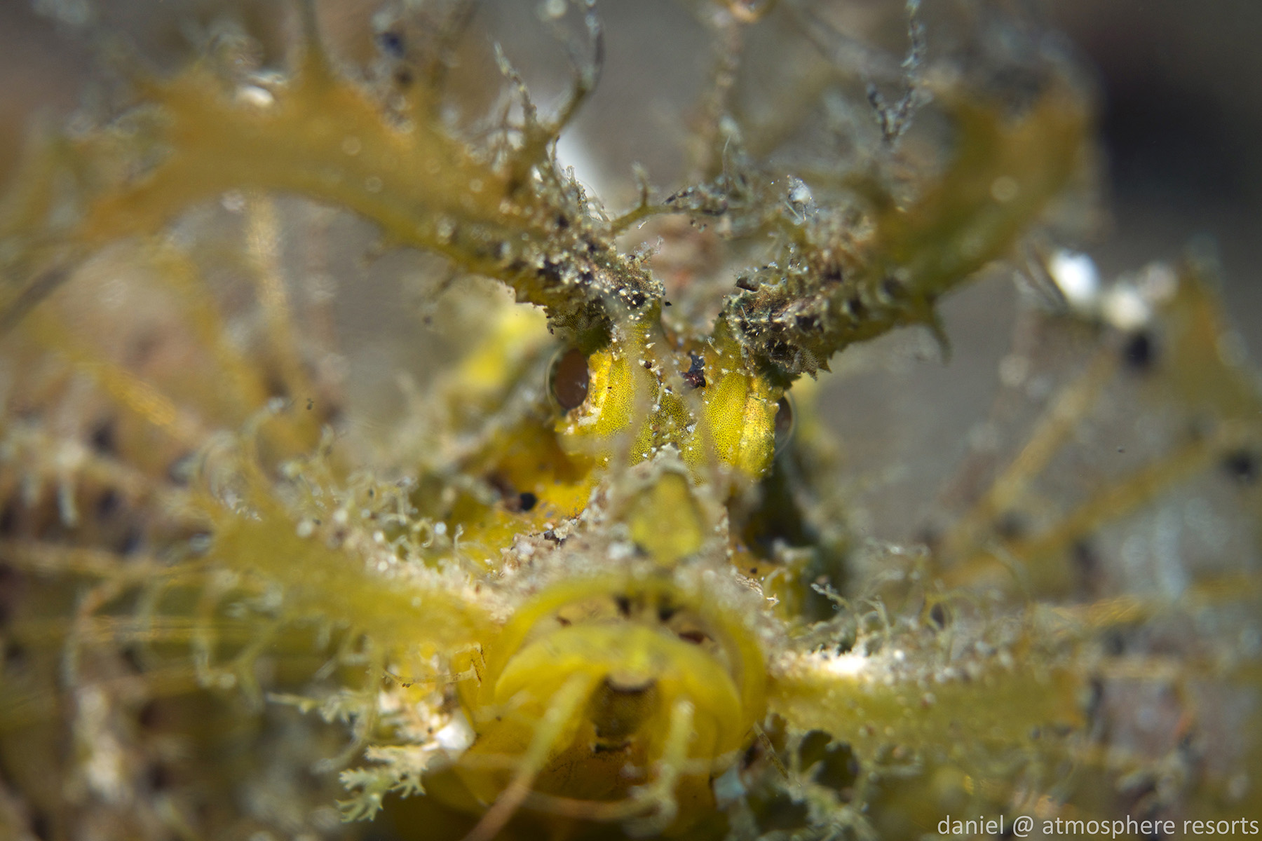 Ambon Scorpionfish by Daniel Geary