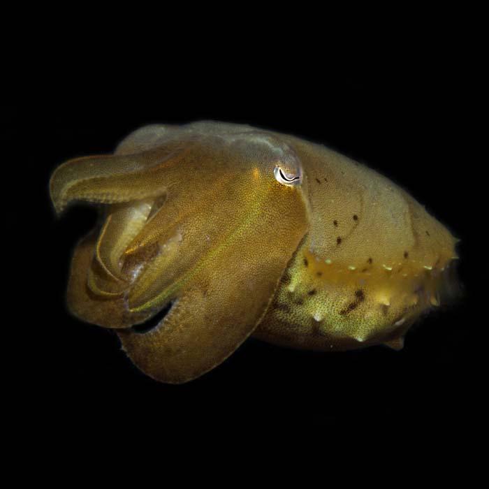 Cuttlefish by Daniel Geary