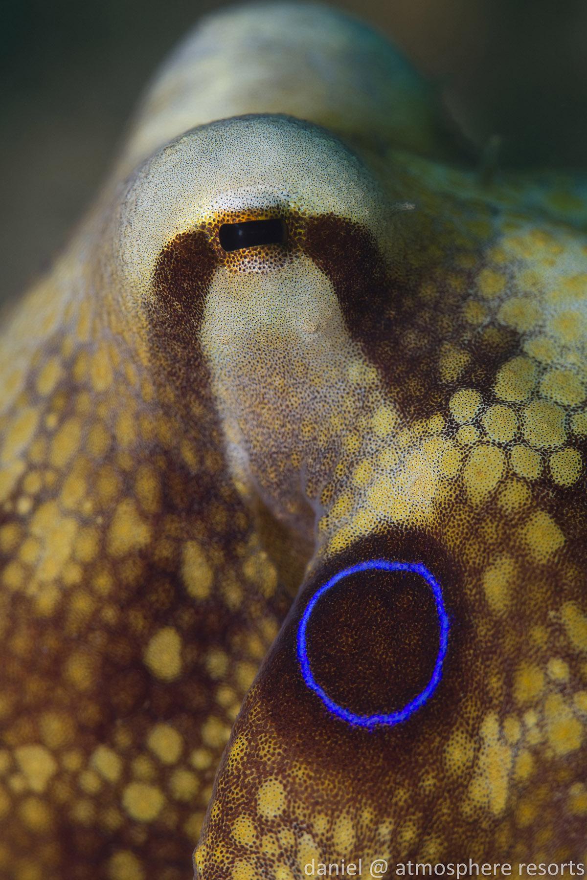 Mototi octopus by Daniel Geary