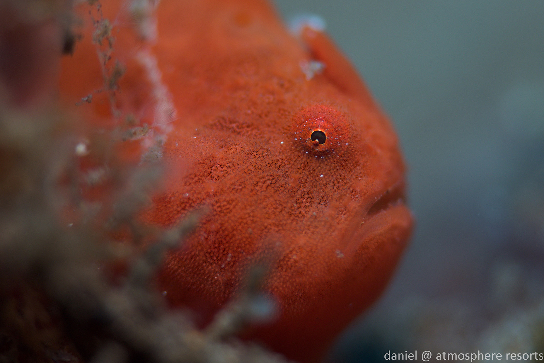 Baby frogfish are more common in Dauin Dumaguete Philippines than most other places. The SMURF research at Atmosphere Resort will hopefully explain why.