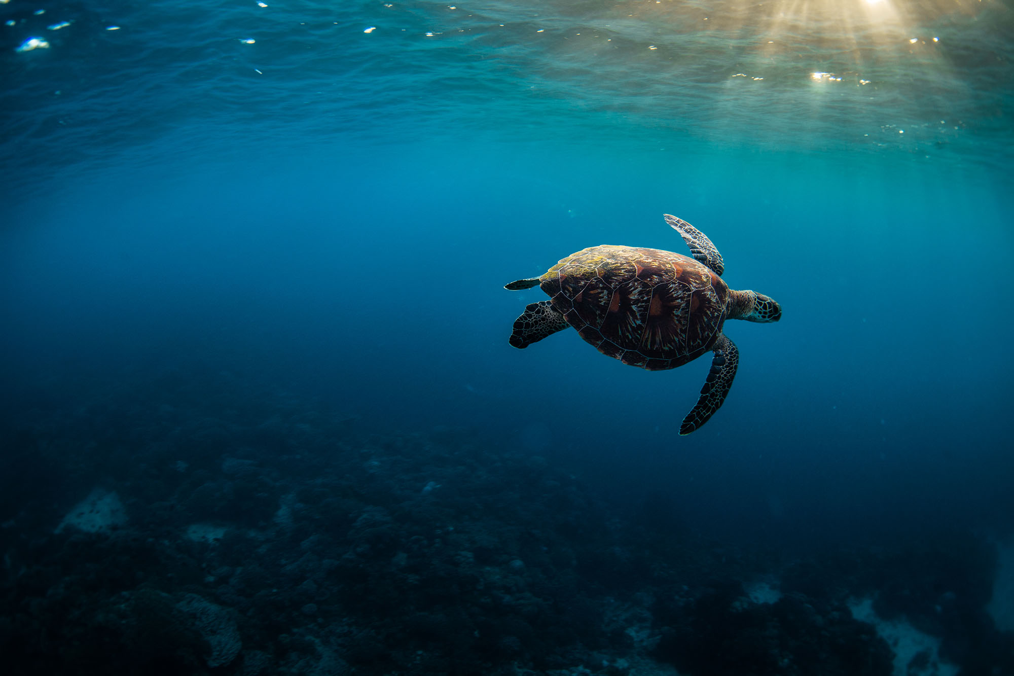 Turtle in Apo Island by Tommy Schultz
