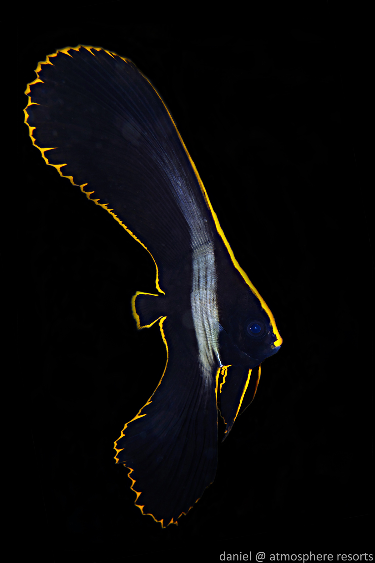 Juvenile Batfish by Daniel Geary