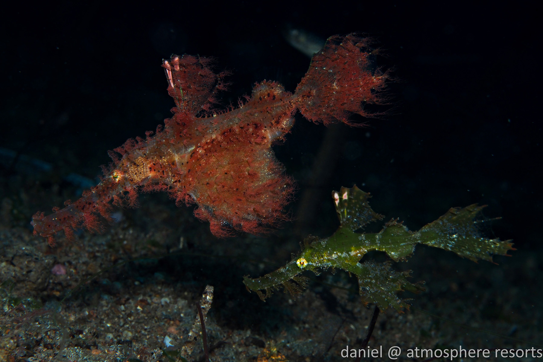 Roughsnout ghost pipefish by Daniel Geary