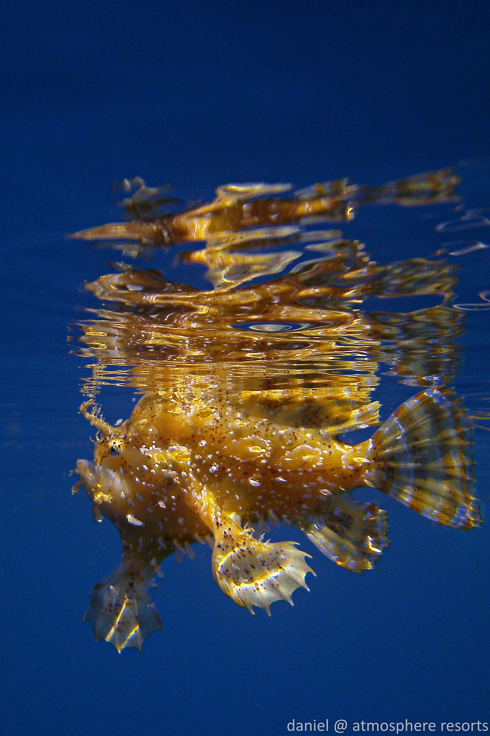 Sargassum Fish by Daniel Geary