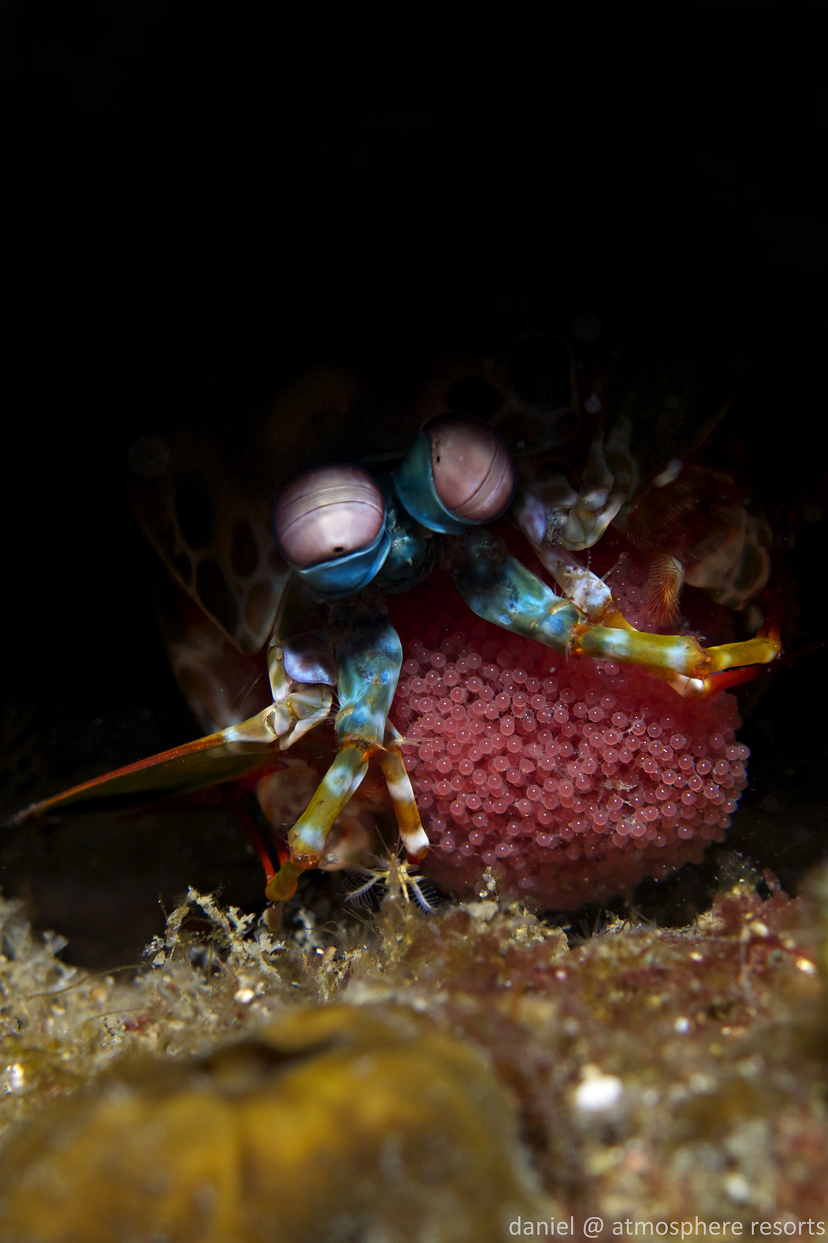 Mantis Shrimp with Eggs by Daniel Geary