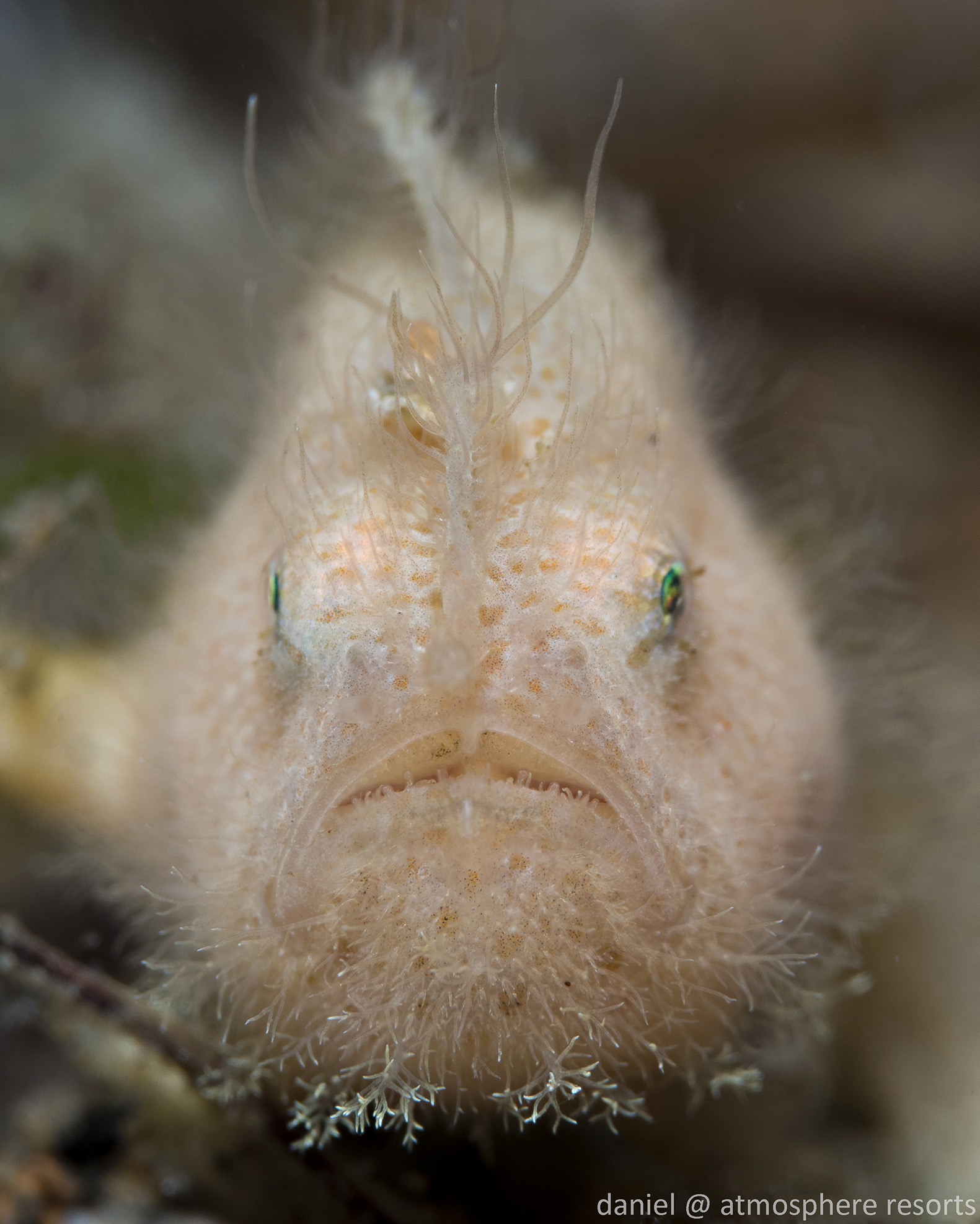 Hairy Frogfish by Daniel Geary