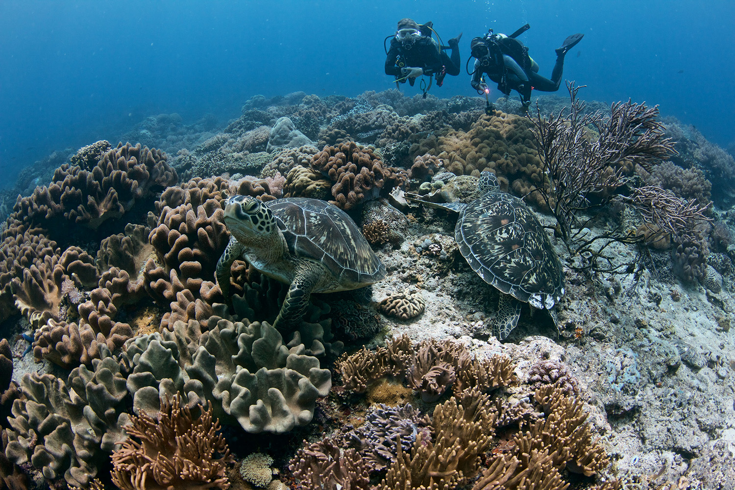 Turtles and corals in Apo island - photo by Bo Mancao