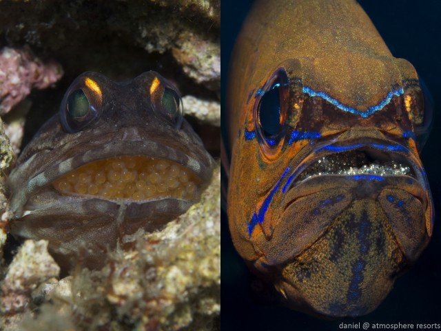 Cardinalfish and jawfish with eggs in Dauin, Dumaguete, Philippines. Photo by Daniel Geary at Atmosphere Resort