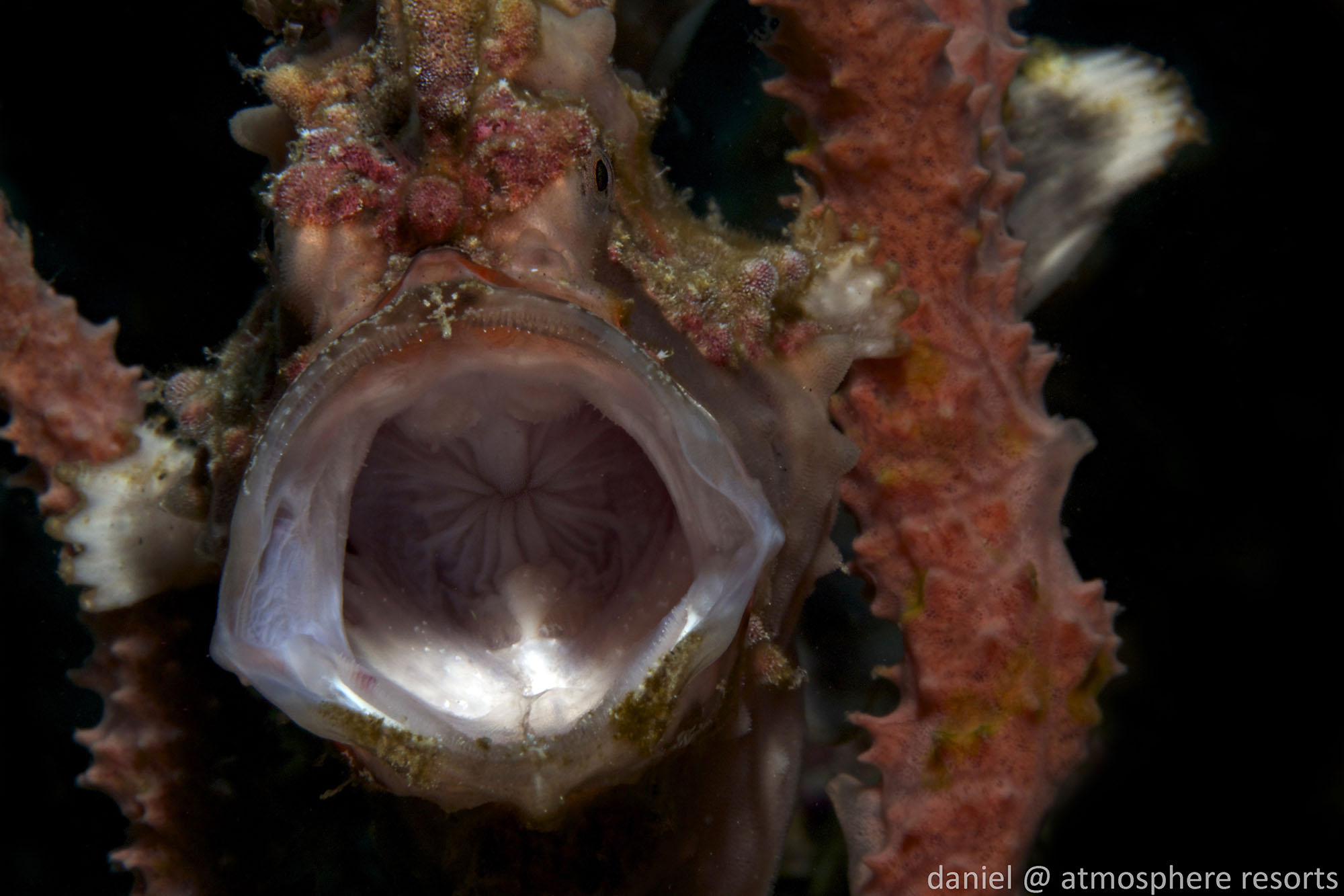 Clown frogfish jawning by Daniel Geary at Atmosphere Resort Philippines