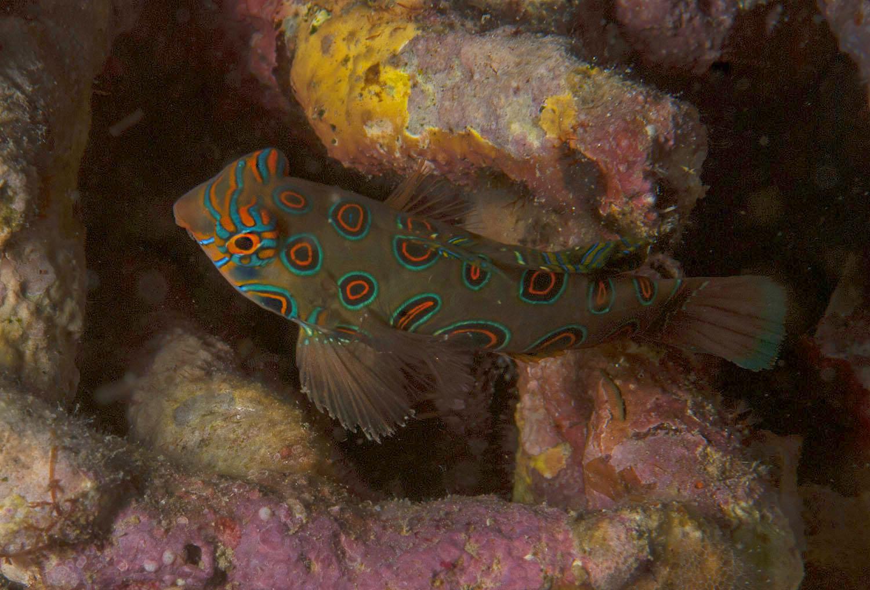 Psychedelic mandarinfish Komodo 2015 by Ulrika Kroon