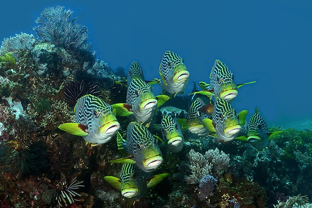 Sweetlips in Komodo 2015 by Peter Williamson