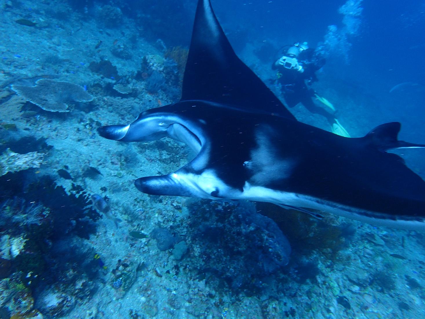 Manta Ray Komodo 2015 by Rachel McLellan