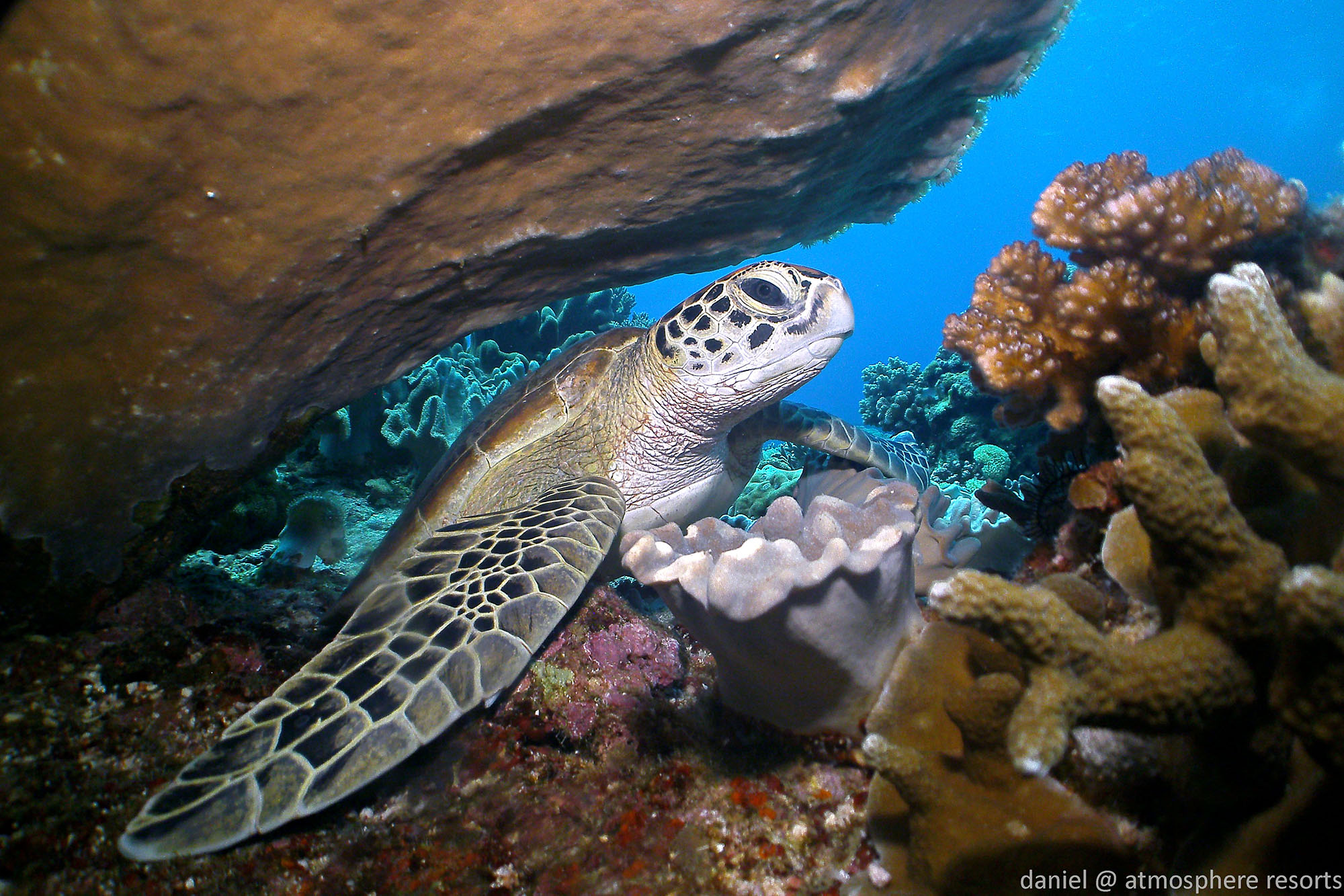 Green sea turtle in Apo Island Philippines