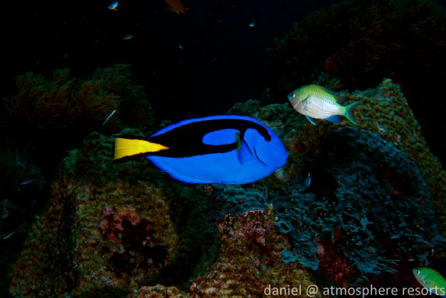 Dory - surgeonfish - blue tang - beloved child has many names. this one from Atmosphere Resort in the Philippines