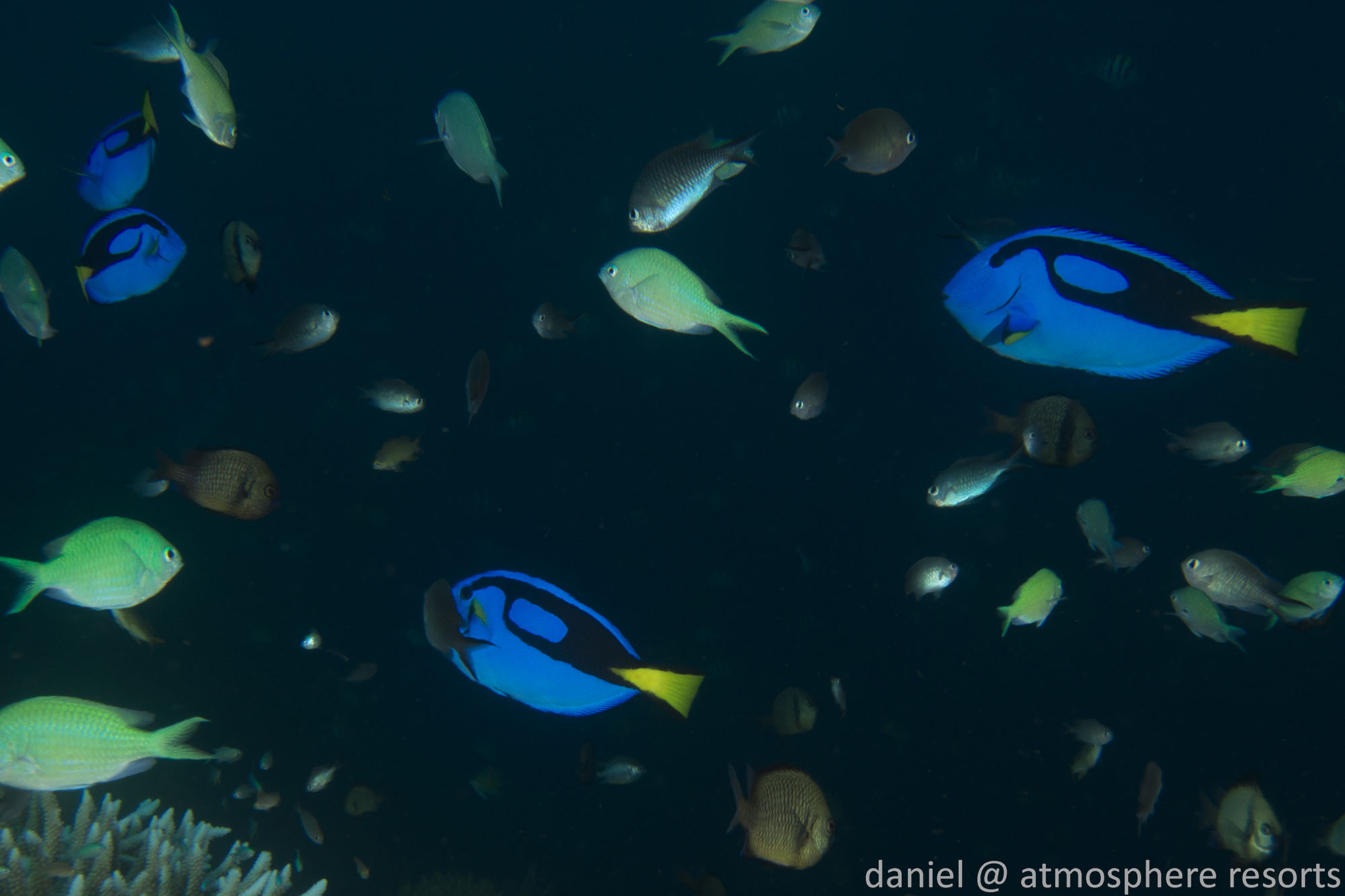 Dory - blue tang - surgeon fish - beloved child has many names, this one at Atmosphere Resort in the Philippines