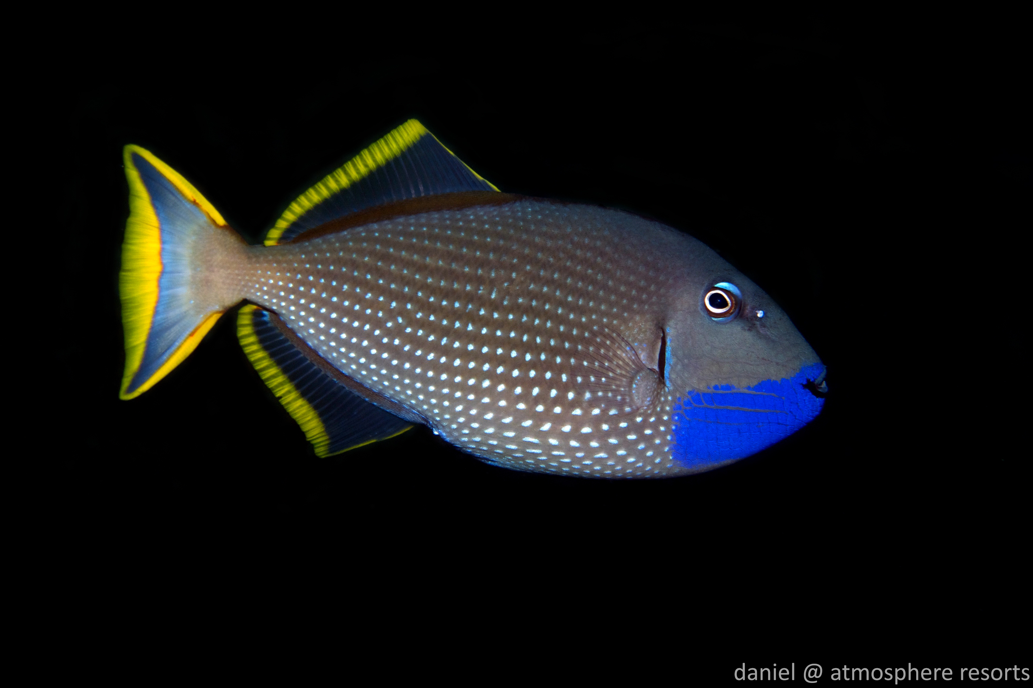 Gilded triggerfish at Apo Island Philippines